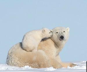 animals and oso polar image