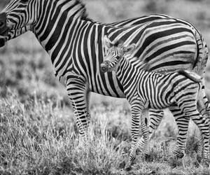 b&w, momma, and zebras image