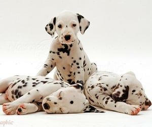 animals, dalmatians, and dogs image