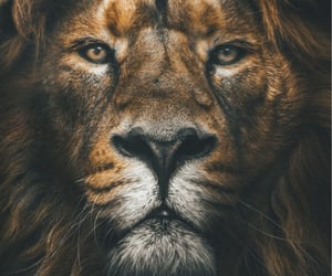 lion, background, and wallpaper image
