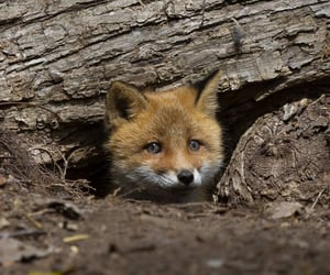 adorable, little fox, and pet image