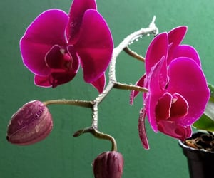 orchid, pink, and orquídea image