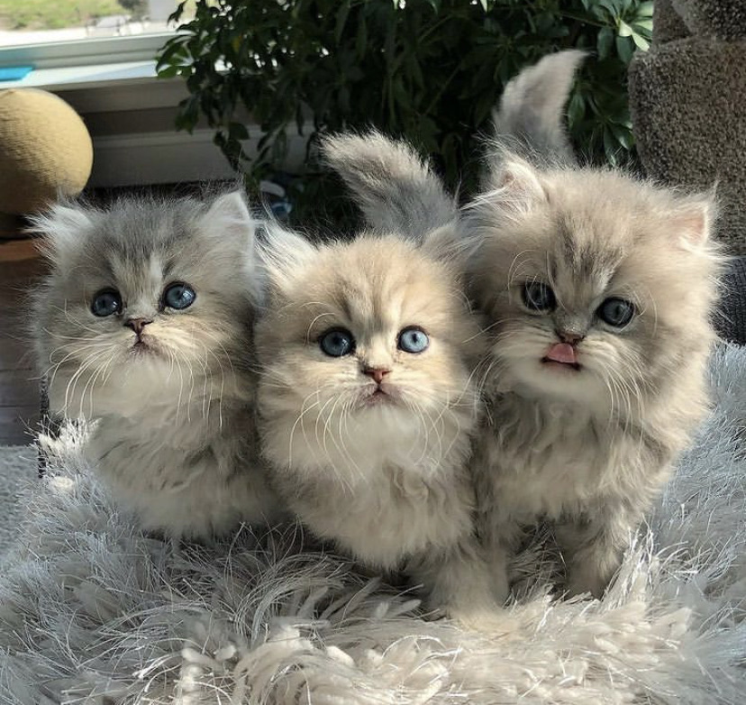 animal, blue eyes, and cats image