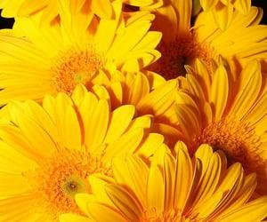 flowers, gerbera, and yellow image