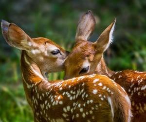 animal, deer, and fawn image