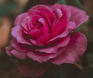 nature, rose bush, and rose garden image