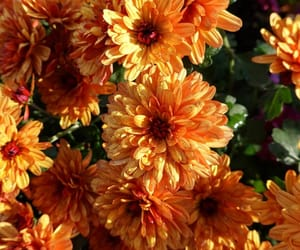 chrysanthemum, flower, and flowers image