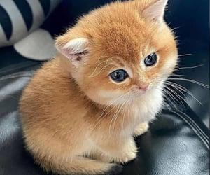 sweet cat, blue eye, and blue eyes image