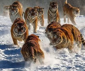 animal, snow, and tigers image