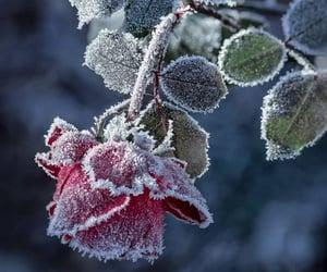 Frozen Rose 🌹🥀❄️