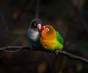 birds, lovebirds, and pair image
