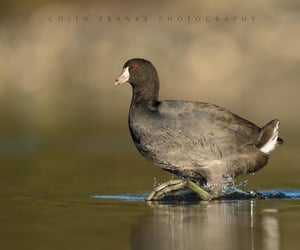 An American Coot, partially revealing its massive feet. By Colin Franks