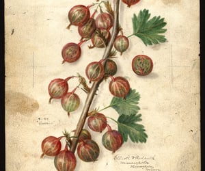 dibujo, fruta, and gooseberries image