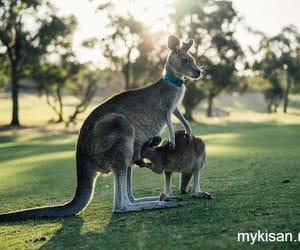animal, kangaroo, and image @mykisanonline image