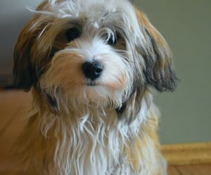 animals, dogs, and havanese image
