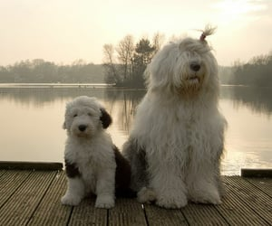 animals, dogs, and oldenglishsheepdog image