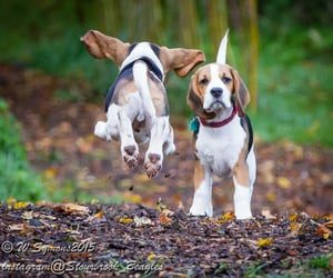 animals, dogs, and beagles image