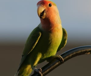 avian, perched, and lovebird image