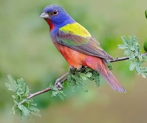bird, wildlife, and painted bunting image