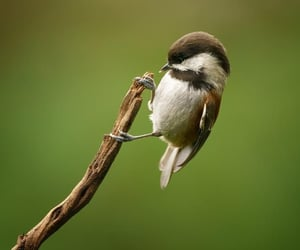 Chestnut-backed Chickadee by Colin Franks