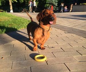 dachshund, pets, and dog image