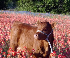 A cow standng in a flower field