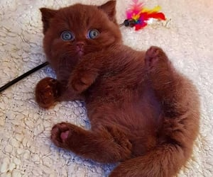 baby, brown, and cute cat image