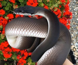 black, red, and snake image
