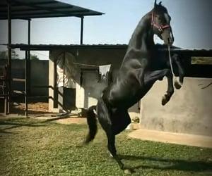 animals, black, and horses image