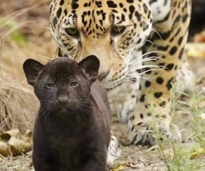 animal, cub, and leopardo image