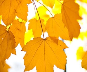 yellow, autumn, and leaves image