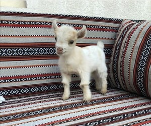 goat, animal, and cute image
