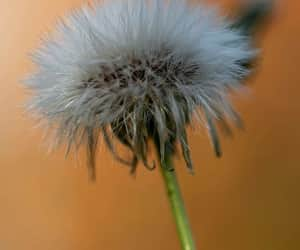 dandelion, flower, and photo image