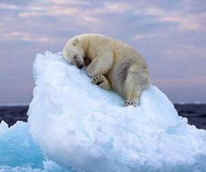 ice, Polar Bear, and nature image