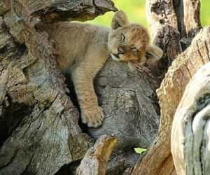 sleeping lion cub image