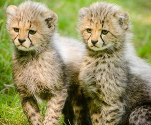 animals, wildcats, and cute image