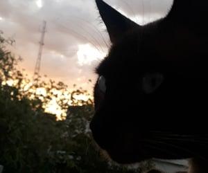 animal, siamês, and atardecer image