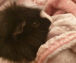 sleep, animal, and guinea pig image