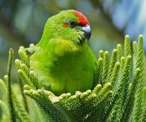 australia, bird, and oceania image