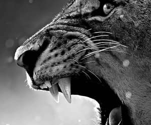 black and white and wildcats image