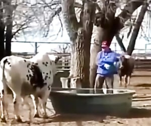 funny video, bulls, and lol image
