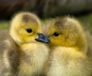 baby animals, birds, and cute image
