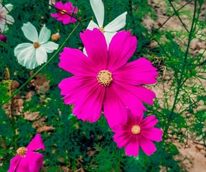 cosmos, nature, and photographer image