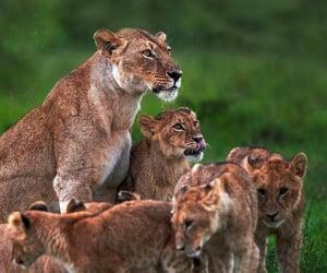 Animales, naturaleza, and leona image