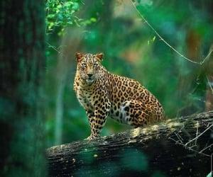 belleza, leopardo, and naturaleza image