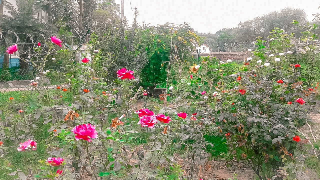 flower, flowers, and pink rose image