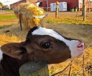 cute, animal, and calf image