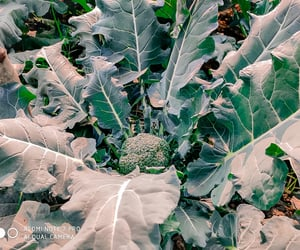 broccoli, gardening, and greenery image