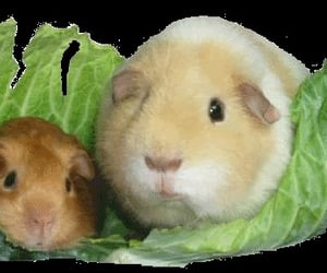 gif, green, and guinea pig image