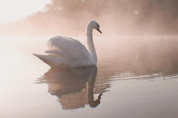 Swan, lake, and water image